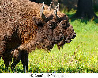 Two bisons - Two european wood bisons wisent or Bison...