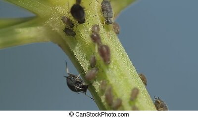 1080p, Macro Of Ants, Vine Lice - 1080p, Macro Of Ants And...
