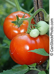 Vine Ripened Tomatoes - Red ripe tomatoes still on the vine...