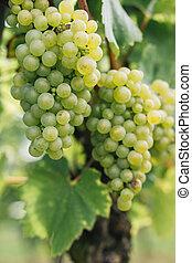 White Riesling Grapes, Rheingau