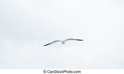 Seagull in flight - For ferry in sky hovering gulls