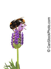 Bumble Bee and Lavender Flower - Bumble bee gathering pollen...