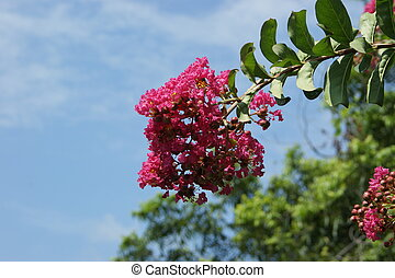 Crepe Myrtle Blooms and Buds - A branch of the Crepe Myrtle...