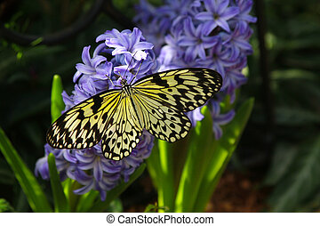 Idea leuconoe butterfly also named paper kite, rice paper or...