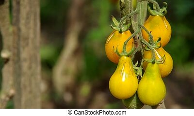 Yellow cherry tomatoes in the garden