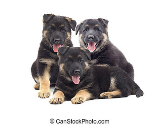 Shepherd puppies