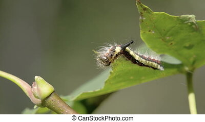A hairy caterpillar has reached the edge of the leaf - A...
