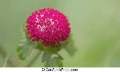 The red colored wild strawberry or known as Fragaria is a...
