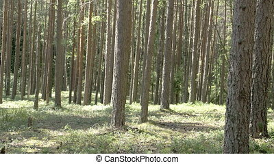 Trunks of the pine trees in the forest - Trunks of the green...