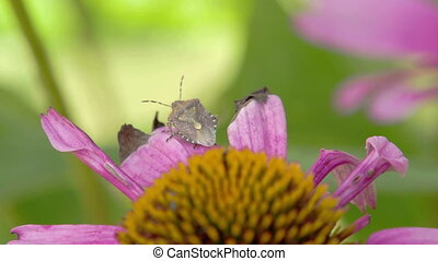 A bug on top of the purple cornflower plant - A bug knwon as...