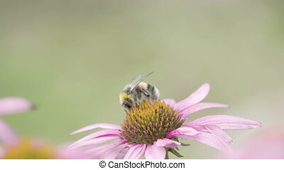 A black bee on top of purple cornflower plant. The bee is...