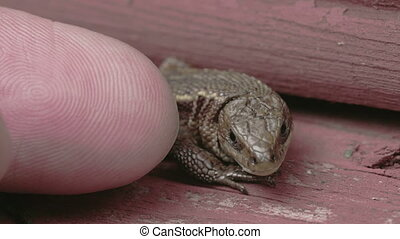 A finger is touching the common lizard and it got away. The...