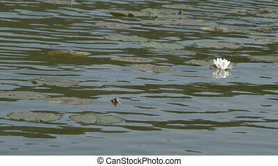Water lilies are floating on the pond