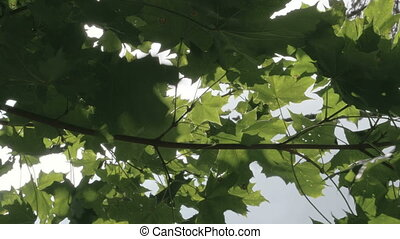The branch of the maple tree with green leaves