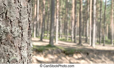 The beautiful trail of the pine trees in the forest. Pinus...