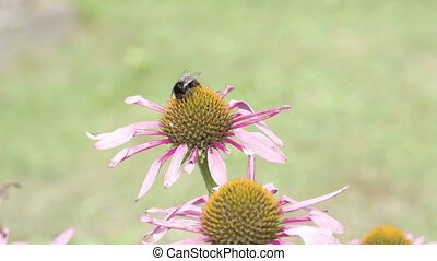 A bee transferring from one purple cornflower to the other....