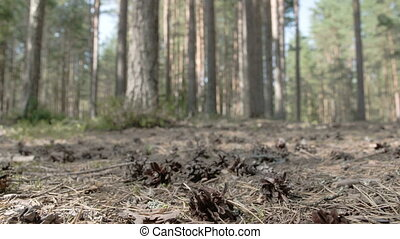 Lots of pine cones scattered on the ground in the middle of...
