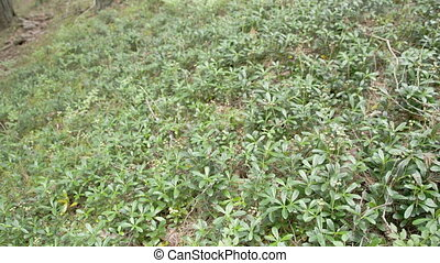 Shrubs of blueberry on the ground in the forest. Also known...