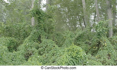 Lots of field bindweed vines on the forest Green bush of...