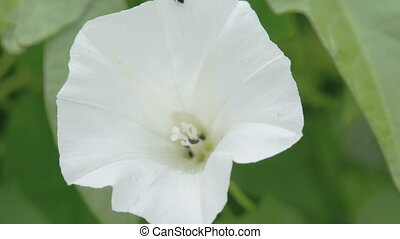 The white petals of the field bindweed flower with green...