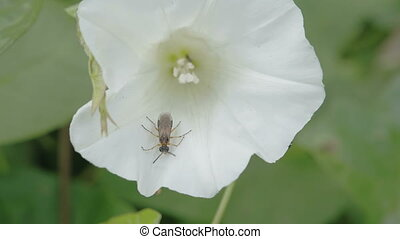 A bug inside the flower of field bindweed plant. The bug is...