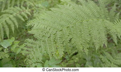 Lots green ferns on the meadows. A fern is a member of a...