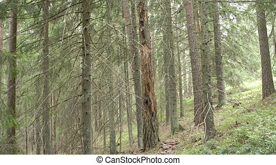 A spruce of blueberry in the middle of the forest with lots...
