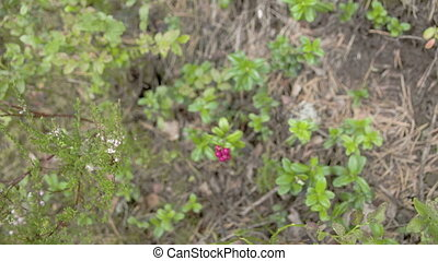 Lots of cowberry plants with its red fruit Also known as...
