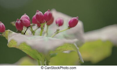 Red guelder rose flower plant or known as Viburnum opulus is...