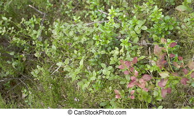 Closer look of a blueberry fruit and its plant. The other...