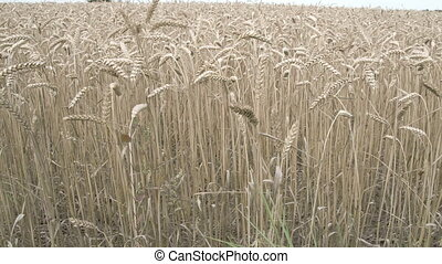 Brown wheat grasses on the field