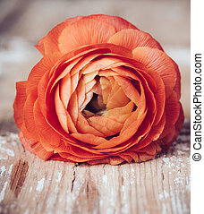 One red-orange buttercup flower on an old wooden board,...