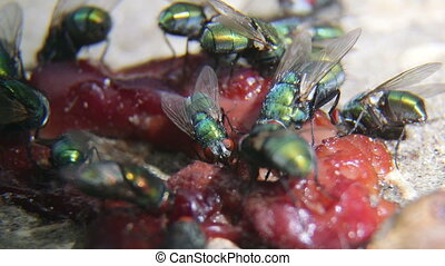 Green bottle flies feeding on some rotten meat close-up