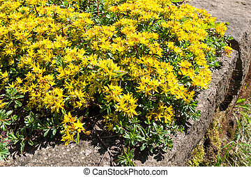 Sedum kamtschaticum, Russian Stonecrop - Early spring yellow...
