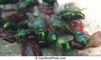 Green-bottle flies on rotten meat closeup