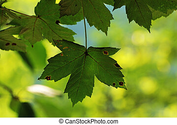 Maple leaf begins to color in early autumn