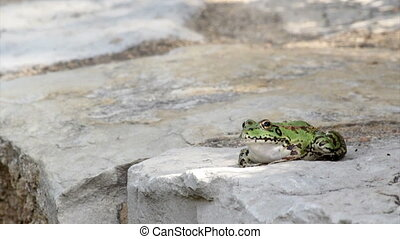Pond Frog Jump A - Commun frog, siting in garden pond edge...