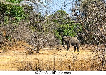 大象, 森林, 年輕