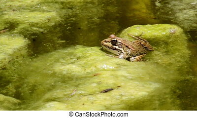 Pond Frog Jump B - Commun frog, siting in garden pond edge...