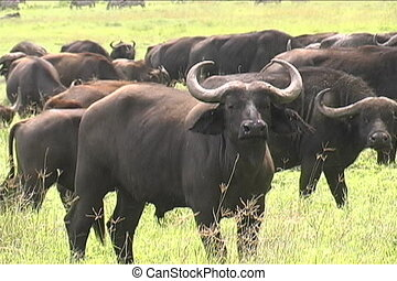 Herd of Cape Buffalo - Large herd of Cape Buffalos in the...