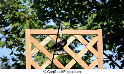 Red-winged Blackbird Agelaius phoeniceus on a backyard bird...