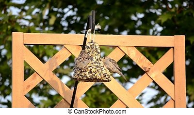 Two House Sparrows on seed bell 2 - House Sparrows Passer...
