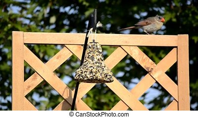 Female Cardinal on Garden Trellis - Female Cardinal...