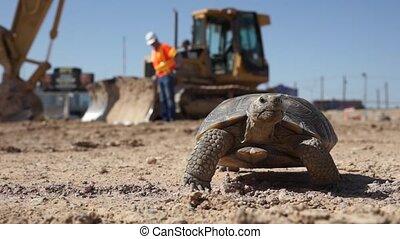 Desert Tortoise Walking - A Desert tortoise walking on a...