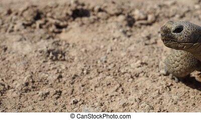 Desert Tortoise Looking Around - A Desert tortoise looking...