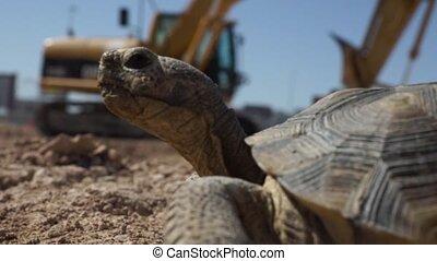 Desert Tortoise, Construction Site - A Desert tortoise is in...