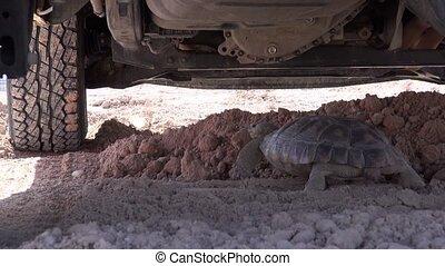 Desert Tortoise Under Vehicle - A Desert tortoise walking...