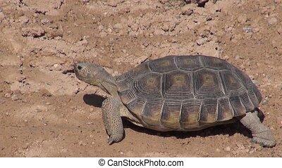 Desert Tortoise, Tire Tracks - A Desert tortoise walking...