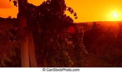 Glow of sunset over vineyard valley pan shot