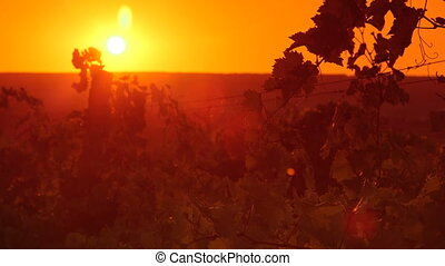Leaves of the grape vine in vineyard against setting sun